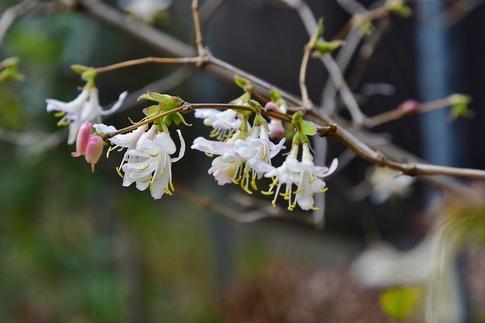 2019-03-17  Resized  早春の武蔵丘陵森林公園(フユザキニオイカズラ)‥ (1).jpg