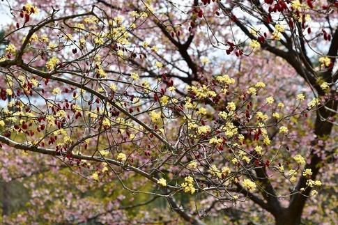 2019-03-17  Resized  早春の武蔵丘陵森林公園(山茱萸)‥ (2).jpg