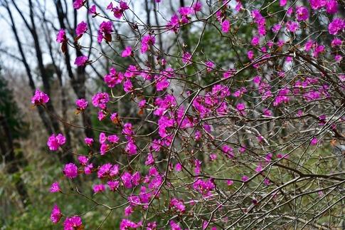2019-03-17  Resized  早春の武蔵丘陵森林公園(早咲きのツツジ)‥ (2).jpg