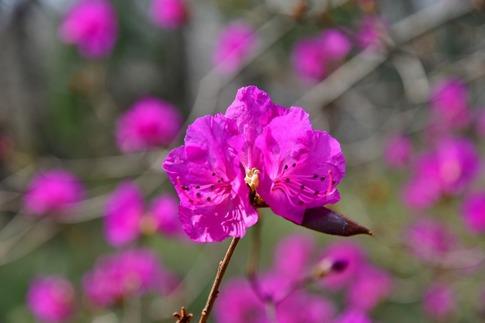 2019-03-17  Resized  早春の武蔵丘陵森林公園(早咲きのツツジ)‥ (3).jpg