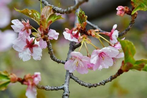 2019-03-17  Resized  早春の武蔵丘陵森林公園(河津桜)‥ (1).jpg