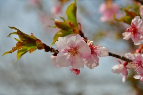 2019-03-17  Resized  早春の武蔵丘陵森林公園(河津桜)‥ (3).jpg