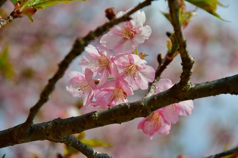 2019-03-17  Resized  早春の武蔵丘陵森林公園(河津桜)‥ (4).jpg