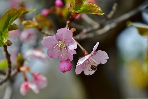 2019-03-17  Resized  早春の武蔵丘陵森林公園(河津桜)‥ (5).jpg