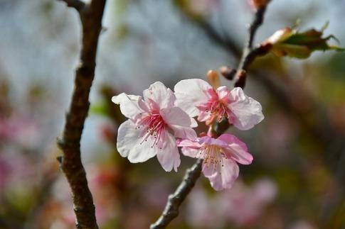 2019-03-17  Resized  早春の武蔵丘陵森林公園(河津桜)‥ (6).jpg