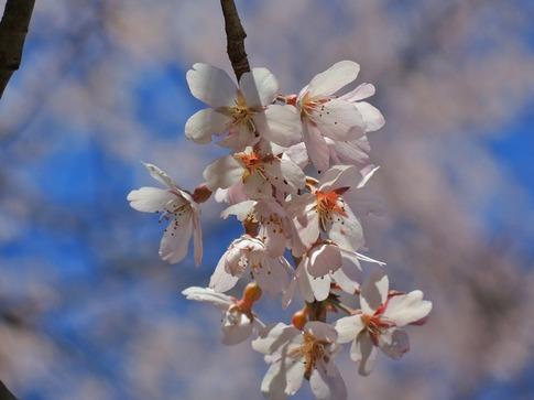 2019-03-24  Resized  北本自然観察センター(エドヒガン桜)‥ (12).jpg