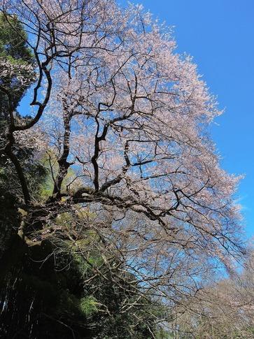 2019-03-24  Resized  北本自然観察センター(エドヒガン桜)‥ (1).jpg