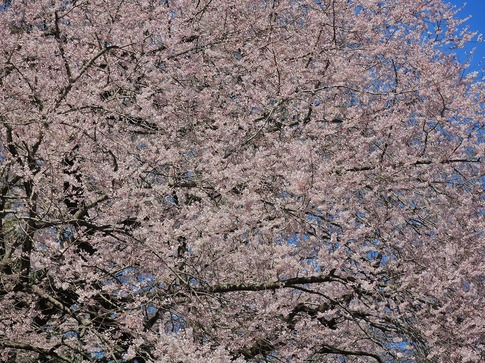 2019-03-24  Resized  北本自然観察センター(エドヒガン桜)‥ (13).jpg