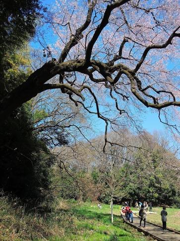 2019-03-24  Resized  北本自然観察センター(エドヒガン桜)‥ (3).jpg