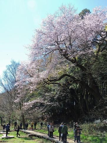 2019-03-24  Resized  北本自然観察センター(エドヒガン桜)‥ (4).jpg