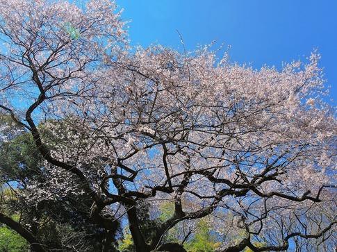 2019-03-24  Resized  北本自然観察センター(エドヒガン桜)‥ (7).jpg