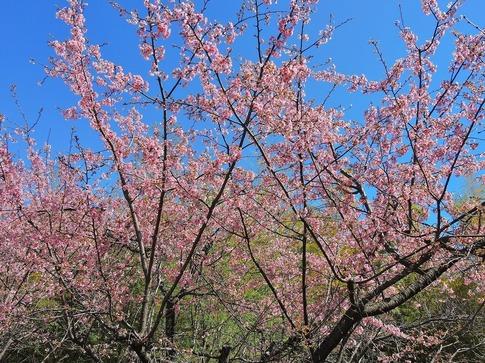 2019-03-24  Resized  石戸宿の春‥ (5).jpg