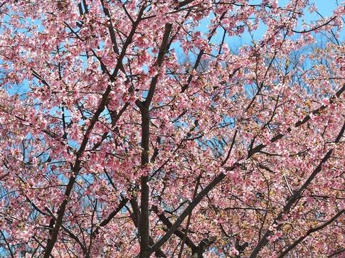 2019-03-24  Resized  石戸宿の春‥ (8).jpg