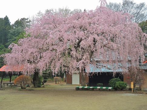 2019-03-31  A-Resized  石戸宿の三春の滝桜‥ (1).jpg