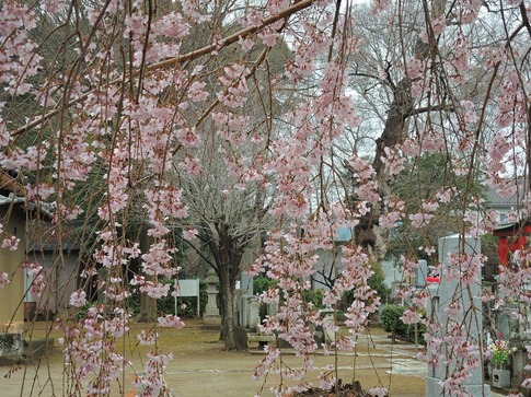 2019-03-31  A-Resized  石戸宿の三春の滝桜‥ (3).jpg