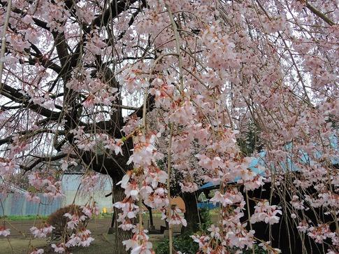 2019-03-31  A-Resized  石戸宿の三春の滝桜‥ (5).jpg