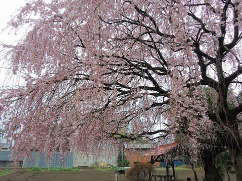 2019-03-31  A-Resized  石戸宿の三春の滝桜‥ (6).jpg