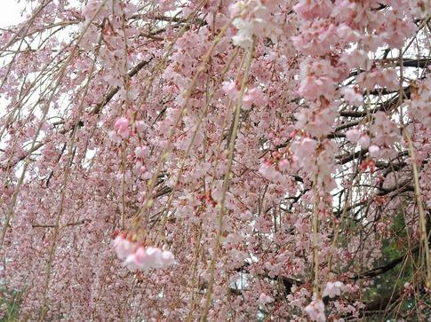 2019-03-31  A-Resized  石戸宿の三春の滝桜‥ (8).jpg
