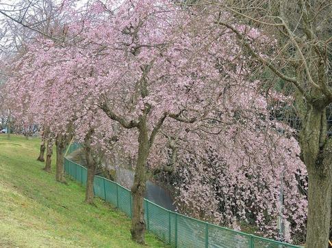 2019-03-31  A-Resized  高尾さくら公園(北本市)‥ (13).jpg