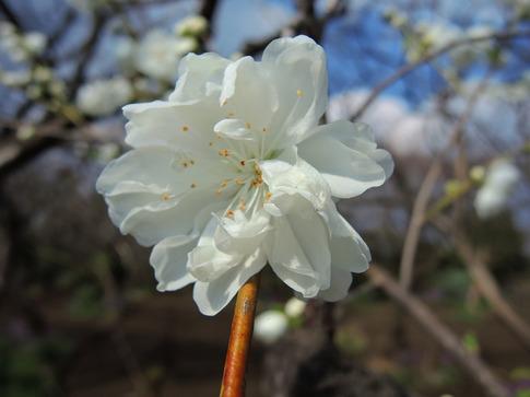2019-03-31  A-Resized  高尾さくら公園(北本市)‥ (5).jpg