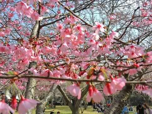 2019-03-31  B-Resized  高尾さくら公園(北本市)‥ (20).jpg