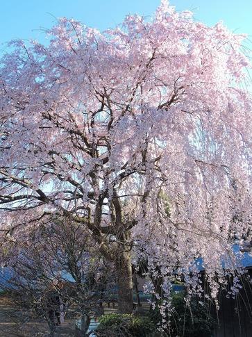 2019-03-31  Resized  石戸宿の三春の滝桜‥(2).jpg