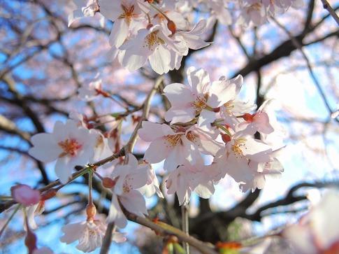 2019-03-31  Resized  石戸宿の三春の滝桜‥(4).jpg