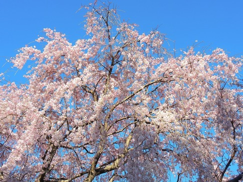 2019-03-31  Resized  石戸宿の三春の滝桜‥(6).jpg
