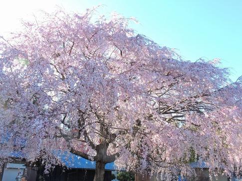 2019-03-31  Resized  石戸宿の三春の滝桜‥(7).jpg