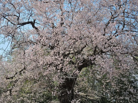 2019-03-31  Resized 北本さくら公園付近‥ (1).jpg
