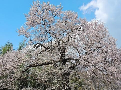 2019-03-31  Resized 北本さくら公園付近‥ (2).jpg