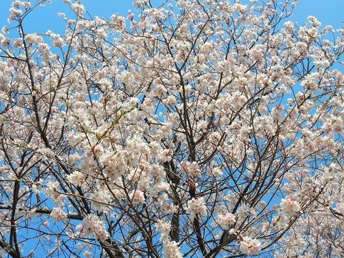 2019-03-31  Resized 北本さくら公園付近‥ (3).jpg