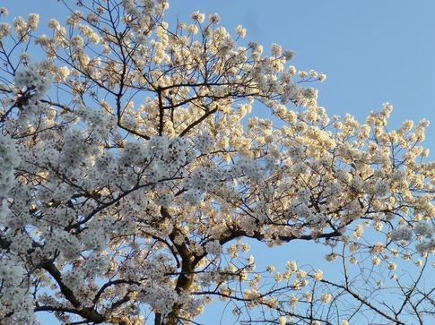 2019-04-04  Resized  上野公園‥ (2).jpg