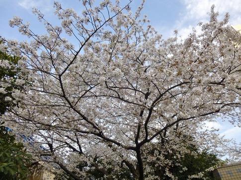 2019-04-05  Resized  飯田橋外堀‥ (15).jpg
