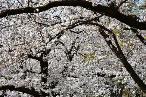 2019-04-06  A-Resized  熊谷市(桜堤)‥ (4).jpg