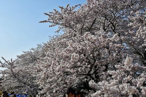 2019-04-06  B-Resized  熊谷市(桜堤)‥ (16).jpg