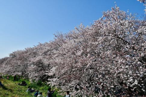 2019-04-06  B-Resized  熊谷市(桜堤)‥ (6).jpg