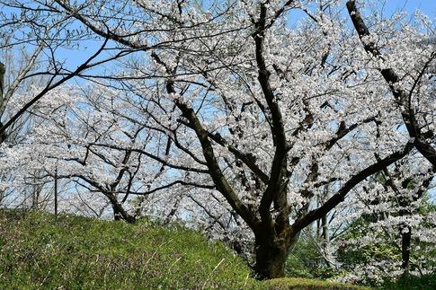 2019-04-06  Resized  熊谷市桜巡り(中央公園)‥ (10).jpg