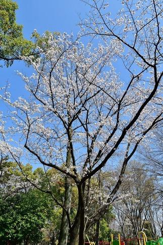 2019-04-06  Resized  熊谷市桜巡り(中央公園)‥ (1).jpg