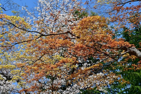 2019-04-06  Resized  熊谷市桜巡り(中央公園)‥ (13).jpg