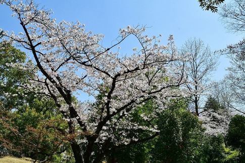 2019-04-06  Resized  熊谷市桜巡り(中央公園)‥ (14).jpg