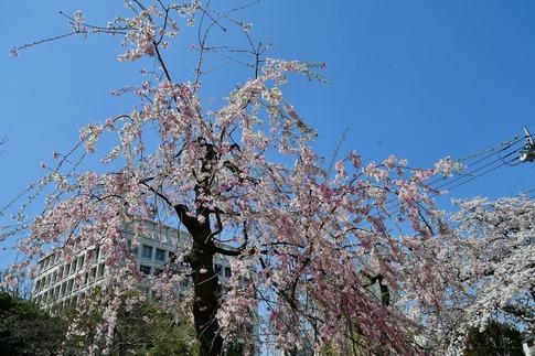 2019-04-06  Resized  熊谷市桜巡り(中央公園)‥ (15).jpg