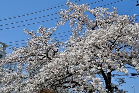 2019-04-06  Resized  熊谷市桜巡り(中央公園)‥ (16).jpg