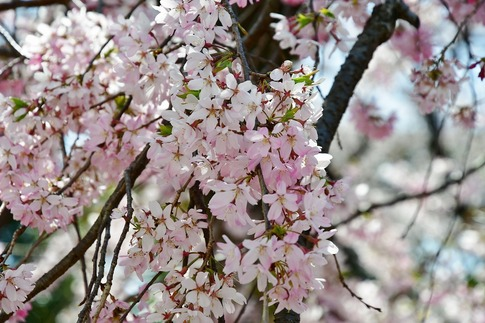 2019-04-06  Resized  熊谷市桜巡り(中央公園)‥ (17).jpg