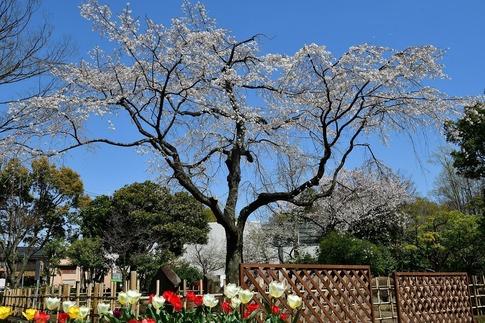 2019-04-06  Resized  熊谷市桜巡り(中央公園)‥ (21).jpg
