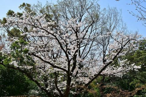 2019-04-06  Resized  熊谷市桜巡り(中央公園)‥ (3).jpg