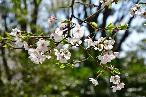 2019-04-06  Resized  熊谷市桜巡り(中央公園)‥ (5).jpg