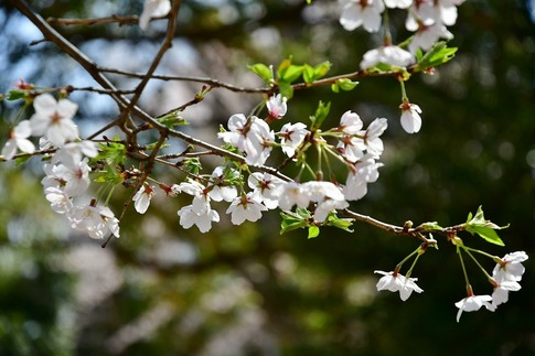 2019-04-06  Resized  熊谷市桜巡り(中央公園)‥ (6).jpg