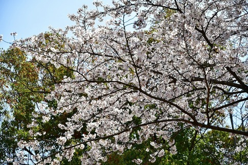 2019-04-06  Resized  熊谷市桜巡り(中央公園)‥ (7).jpg