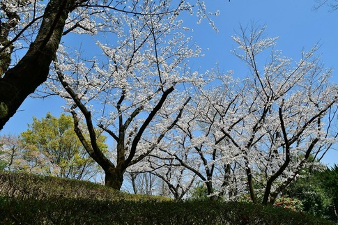 2019-04-06  Resized  熊谷市桜巡り(中央公園)‥ (9).jpg